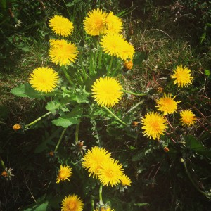 beautiful vibrant dandelions