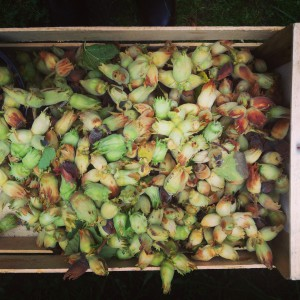 Organic Irish Hazel nuts Cobnuts