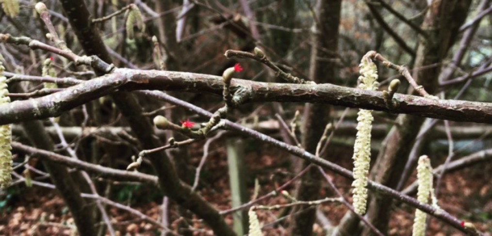 Hazel tree catkins and female red flowers